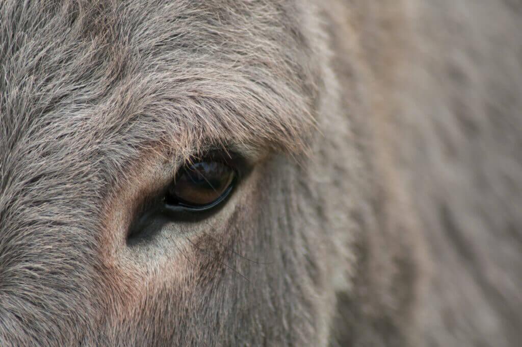 Oog van een ezel
