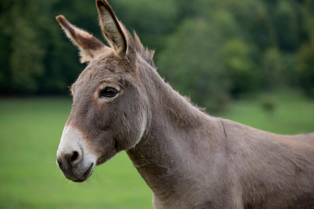Een gezonde ezel