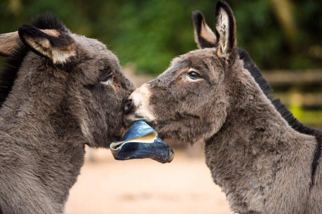 Twee ezels spelen samen met een laars