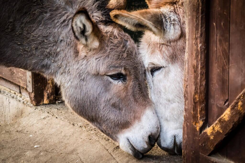 Twee ezels samen in een stal.
