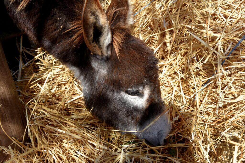 Een ezel eet stro